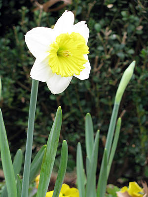 Photograph - Daffodil 20 by Pamela Critchlow