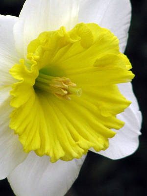 Photograph - Daffodil 21 by Pamela Critchlow