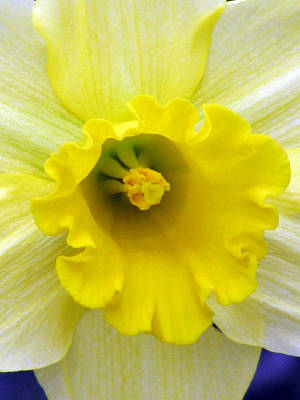 Photograph - Daffodil 28 by Pamela Critchlow
