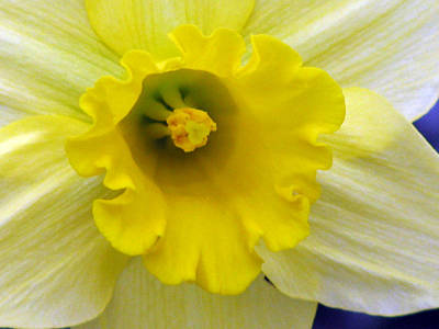 Photograph - Daffodil 30 by Pamela Critchlow