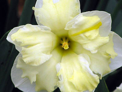 Photograph - Daffodil 31 by Pamela Critchlow