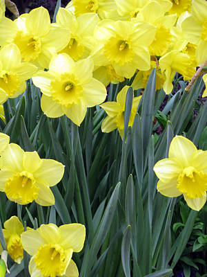 Photograph - Daffodil 34 by Pamela Critchlow