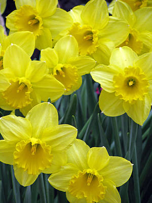 Photograph - Daffodil 36 by Pamela Critchlow