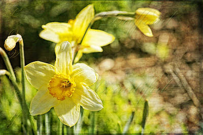 Photograph - Daffodil Beauty by Lincoln Rogers