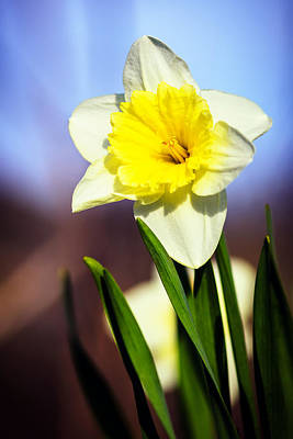 Photograph - Daffodil Blossom by Sennie Pierson