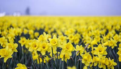 Daffodil Blur Art Print by Tony Locke