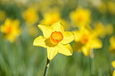 Photograph - Daffodil Close Up by Brandon Bourdages