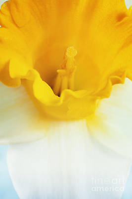 Mythja Photograph - Daffodil Close Up by Mythja  Photography