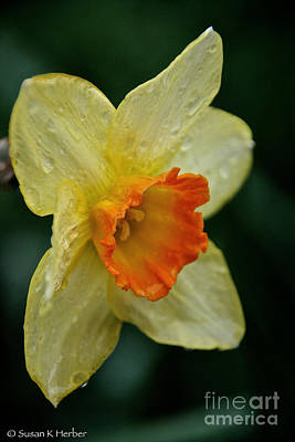 Photograph - Daffodil Dampened by Susan Herber