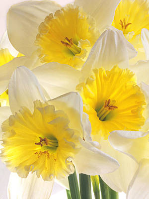 Photograph - Daffodil Delight Vertical by Gill Billington