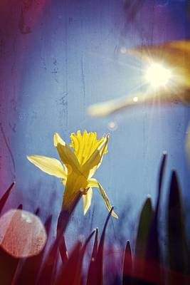 Photograph - Daffodil by Emily Stauring