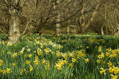 Photograph - Daffodil Field by Beverly Cash