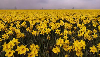 Daffodil Fields Of Fog Art Print by Tony Locke
