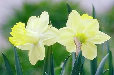 Daffodil Flowers (narcissus Sp.) Art Print by Maria Mosolova/science Photo Library
