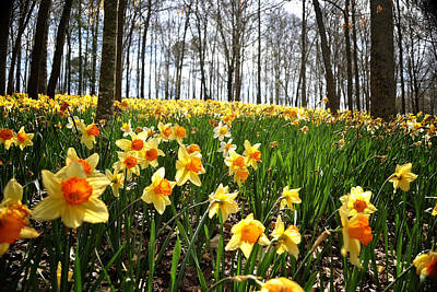 Photograph - Daffodil Hill by George Taylor