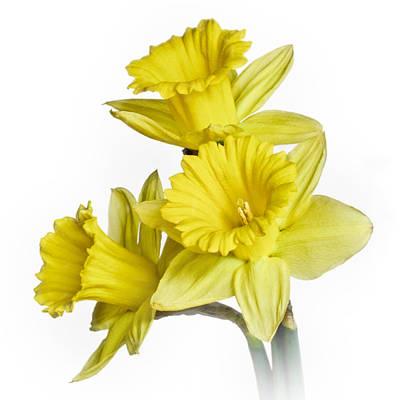 Photograph - Daffodil II by David and Carol Kelly