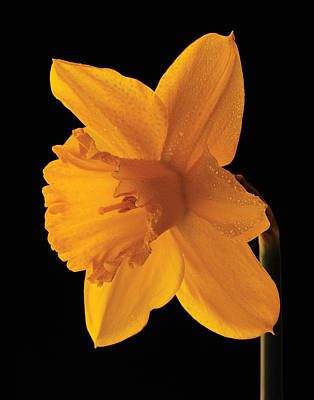 Photograph - Daffodil In Bloom by Don Wolf