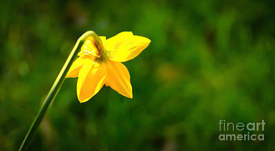 Photograph - Daffodil In Isolation by David Warrington
