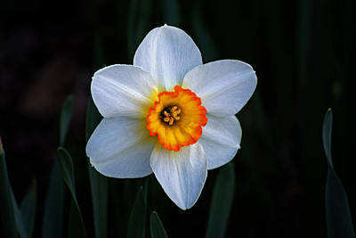 Photograph - Daffodil In Riverside Park by Bill Swartwout