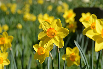 Photograph - Daffodil In Spring by Brandon Bourdages
