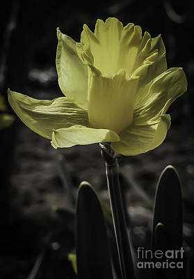 Photograph - Daffodil In Spring by Michael Canning