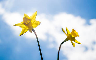 Outdoor Still Life Photograph - Daffodil In Spring  by Shelby  Young