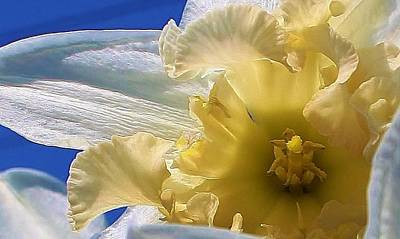 Amature Photograph - Daffodil In The Sun by Bruce Bley