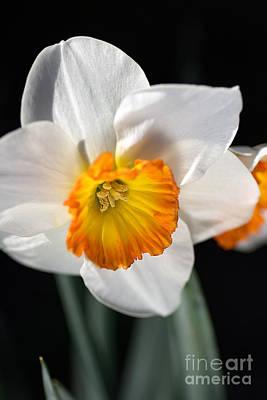 Daffodil In White Art Print by Joy Watson