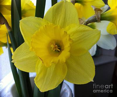 Daffodil Art Print by Julie Koretz