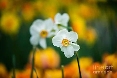 Photograph - Daffodil by Katka Pruskova
