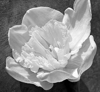 Photograph - Daffodil Monochrome  by Chris Berry