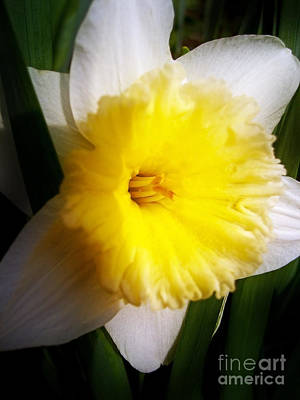 Photograph - Daffodil by Nina Ficur Feenan