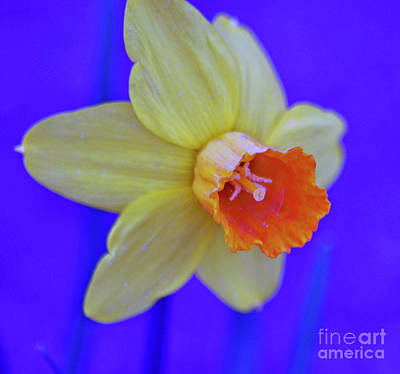 Art Print featuring the photograph Daffodil On Blue by Juls Adams