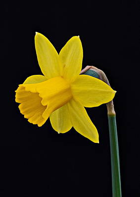 Photograph - Daffodil by Paul Gulliver