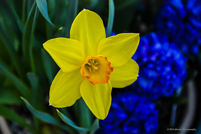 Art Print featuring the photograph Daffodil by Phil Abrams