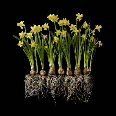 Daffodil Plants On Black Background Art Print by William Turner