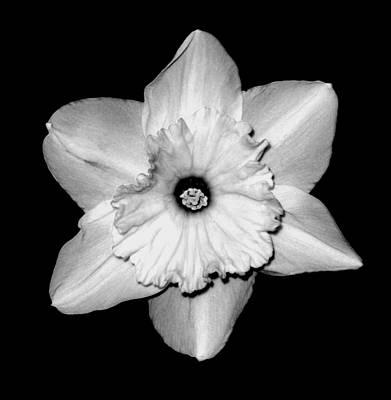 'daffodil Portrait' Art Print