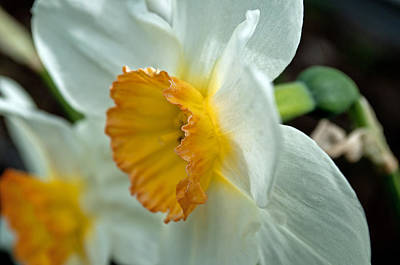 Photograph - Daffodil Profile by Tikvah's Hope