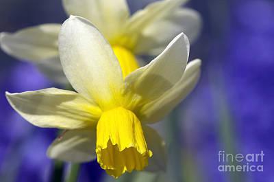 Daffodil Art Print by Sharon Talson