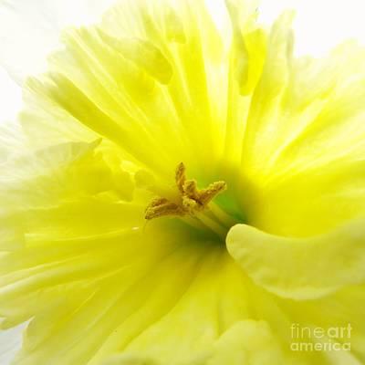 Flowers Photograph - Daffodil -softyellow by Scott Cameron