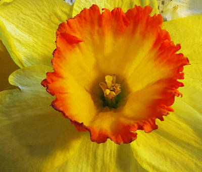 Daffodil Sunset Art Print by Shawna Rowe