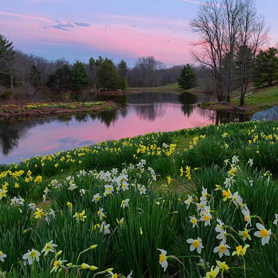 Country Photograph - Daffodil Sunset Square by Bill Wakeley