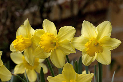 Photograph - Daffodil Trio by Robert Camp
