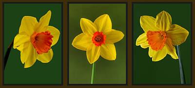 Daffodil Triptych Art Print by Pete Hemington