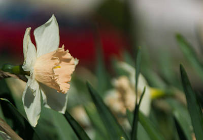 Close Up Photograph - Daffodil With A Splash Of Red by Photographic Arts And Design Studio