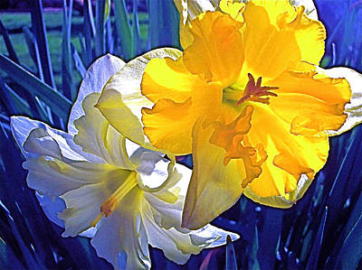 Art Print featuring the photograph Daffodils 1 by Pamela Cooper