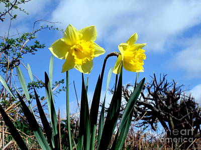 Daffodils 2 Original