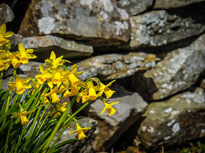 Photograph - Daffodils Against An Irish Stone Wall by James Truett