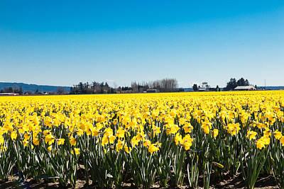 Daffodils And Blue Skies Art Print