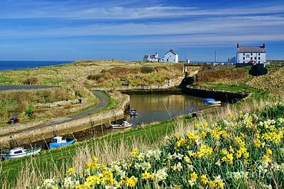 Seaton Sluice Harbour Daffodils Art Print